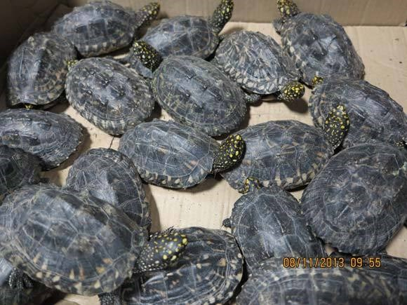 Black spotted turtle (Geoclemys hamiltonii) is known to be traded for meat, medicine and pets and need to be conserved. Photo credit: TRAFFIC