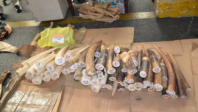 Elephant tusks seized by Tan Son Nhat Airport customs officers on June 10. Photo credit: HCMC Customs Agency