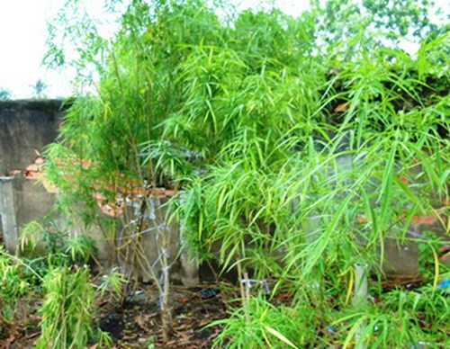 Cannabis plants found in Ho Chi Minh City. Photo credit: VTC News