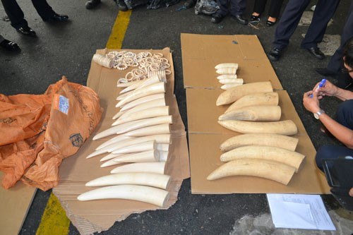 39 elephant tusks seized by Vietnamese customs on Sunday. Photo: Dinh Muoi