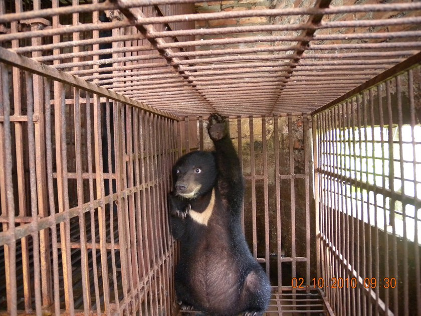 A photo released by wildlife trade monitoring network TRAFFIC shows a bear being illegally kept for its bile. Photo credit: M. Silverberg/TRAFFIC