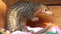 The young pangolin seized by park rangers has been rescued at the Cuc Phuong National Park. Photo credit: SVW/CPCP