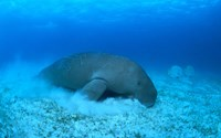 A file photo shows a dugong. Vietnam will hold a festival on Phu Quoc Island November 30, 2014 to increase public awareness about the protection of this endangered herbivorous marine mammal. Photo credit: WWF