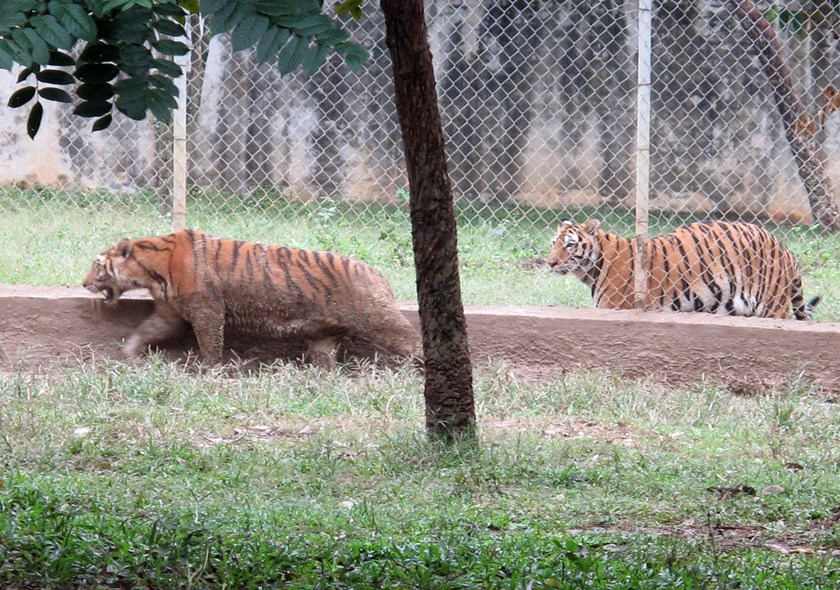 Tigers at a farm in Thanh Hoa Province. Photo: Ngoc Minh