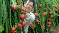 A farmer harvesting dragon fruit in Long An Province. Photo: Cong Han