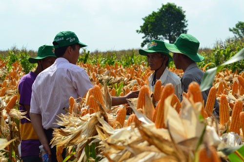 Genetically modified corn being grown at a trial farm in Vietnam. Photo: Quang Thuan
