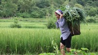 A woman carrying grass for her cows in the northern province of Hoa Binh. Photo: Minh Hung
