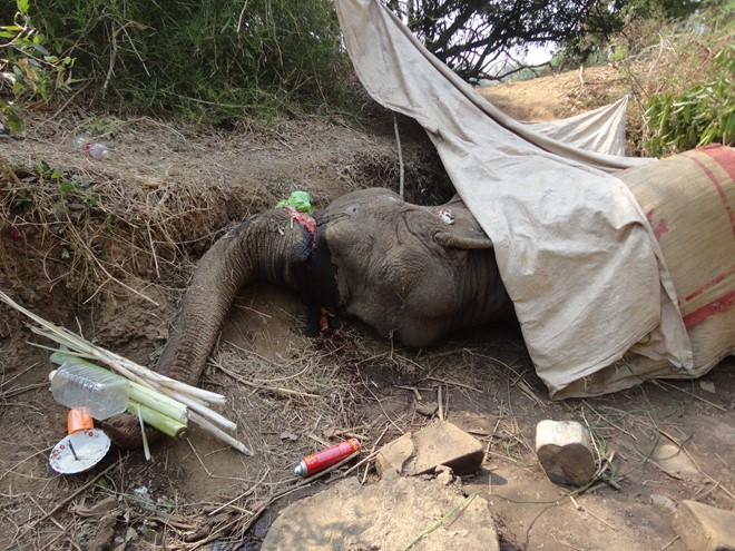 Another domestic elephant dies in Central Highlands