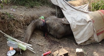 The 38-year-old elephant died in a forest in Dak Lak Province on April 15. Photo credit: PLO