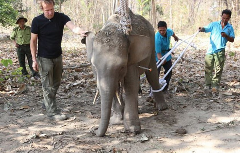 Conservationists rescue a wild elephant injured by poachers' traps in Dak Lak Province in February 2015. Photo: Nguyen Binh