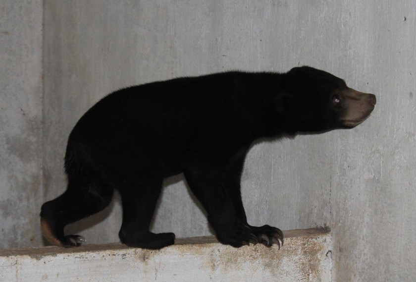 A wild bear seized from poachers in Dak Nong Province. Photo credit: WCS