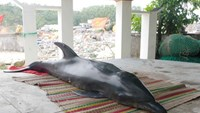 Vietnam's male dolphin believed dead on female's 1st death anniversary