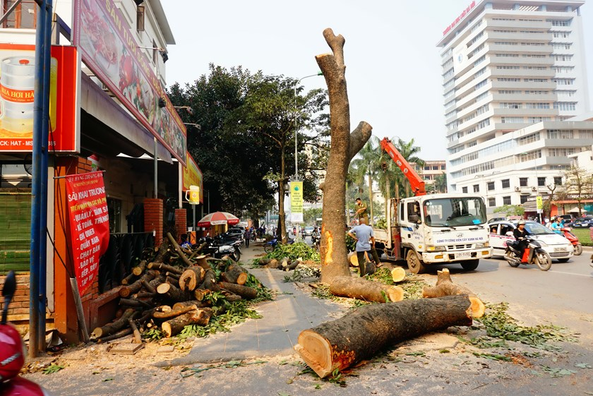 A tree is being cut down on Hanoi's Nguyen Chi Thanh Street on March 18. Photo: Ngoc Thang