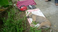 The dog poisoned by dog thieves in the Mekong Delta province of Tien Giang on June 20. Photo credit: Tien Phong