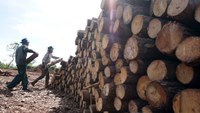 Illegal logging has been on the rise in Lam Dong Province this year. Photo credit: Tuoi Tre