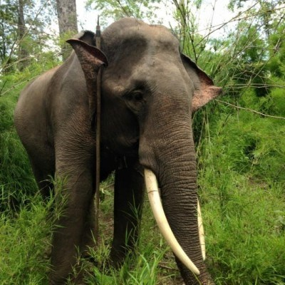Thoong Ngan, a 20-year old domestic elephant, with his right tusk almost severed. Photo credit: Dak Lak Elephant Conservation Center
