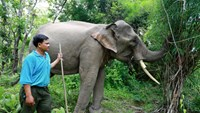 Thoong Ngan had it right tusk cut by thieves on July 14. Photo credit: Tuoi Tre