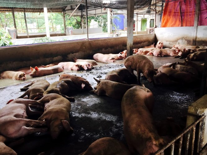 Pigs at a farm in Dong Nai Province that have been tested positive for illegal growing agent. Photo credit: Tuoi Tre