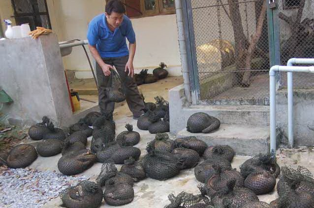 Smuggled pangolins rescued in Thanh Hoa Province in August. Photo credit: Save Vietnam's Wildlife