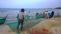 On Vietnam's central coast, it is herring season