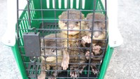 Ho Chi Minh City pet shop owner arrested for wildlife smuggling