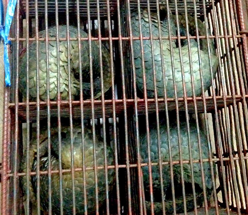 Pangolins found at a house rented by Vo Ta Dung in Binh Duong Province on December 26, 2015. Photo credit: Trung Kien/Dan Tri