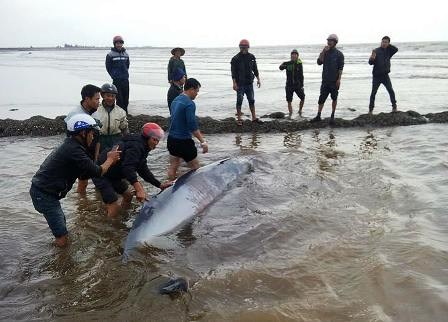 Salt workers in Nam Dinh Province rescue a beached whale on January 18, 2016. Photo credit: Duc Van/Dan Tri