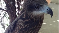 The black kite seized at Chu Van Cuong's house in Nghe An Province. Photo credit: Doan Hoa/Tuoi Tre