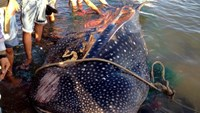 Carcass of beached whale shark to be preserved by Vietnamese scientists