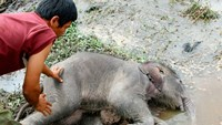 Wild baby elephant found dead in Central Highlands