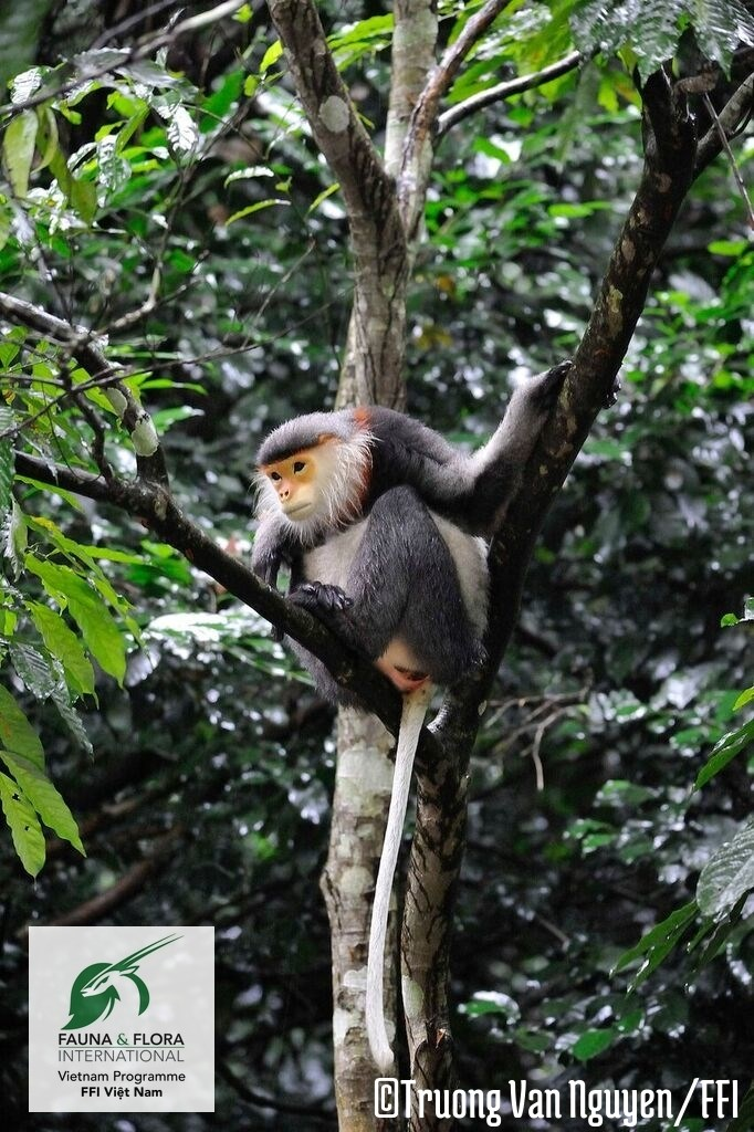 A gray-shanked douc langur in Vietnam. Photo credit: FFI