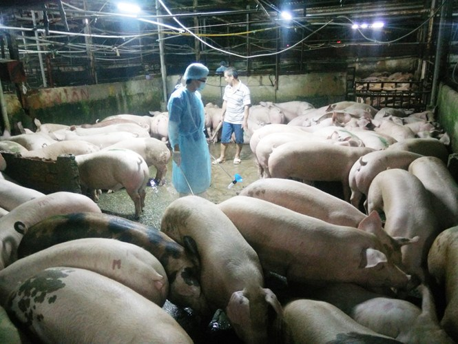 An inspector checks a pig farm in Vietnam. Photo: Cong Nguyen