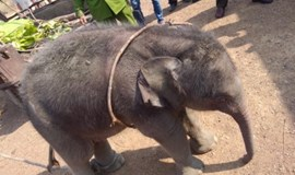 Elephant herd rejects baby rescued in central Vietnam