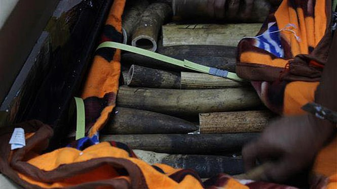 Elephant tusks found at Hanoi's Noi Bai Airport on April 22. Photo credit: Duy Tan/Tuoi Tre
