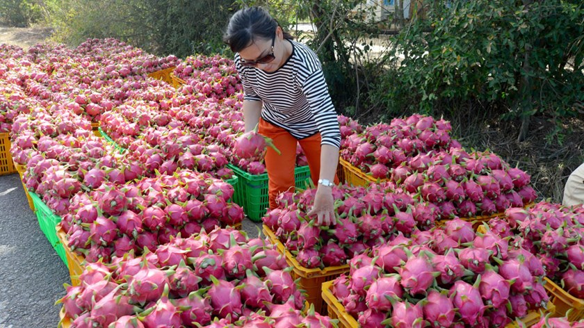 A woman buys dragon fruit in Vietnam. Photo: Diep Duc Minh/Thanh Nien