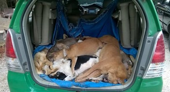 A photo supplied by local police shows the stolen dogs transported in a taxi on April 29, 2016 in Quang Nam Province. Photo credit: Nguoi Lao Dong