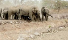 Wild elephants forage for food in inhabited areas in Central Highlands, scare locals