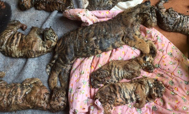 Dead tiger cubs are displayed by Thai officials after they were found in a raid on the controversial Tiger Temple, a popular tourist destination which has come under fire in recent years over the welfare of its big cats, in Kanchanaburi province, west of Bangkok, Thailand June 1, 2016. Photo: Reuters