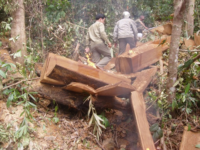 Park rangers investigate an illegal logging case in Lam Dong Province. Photo: Lam Vien/Thanh Nien