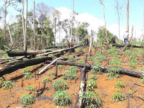A forest area was cleared for crops in the Central Highlands province of Dak Lak. Photo: Trung Chuyen