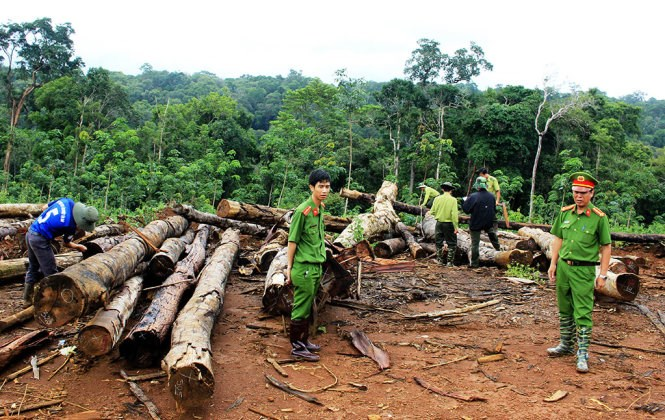 Police inspect logs at a site of Thanh Chi Company in Lam Dong Province. Photo credit: Son Binh/Tuoi Tre