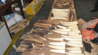 110 kg of elephant tusks seized at Tan Son Nhat Airport in Ho Chi Minh City in 2014. Photo: Dinh Muoi