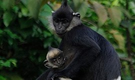 Large population of the rare Delacour's langur discovered in Vietnam