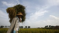 A farmer carries rice on his shoulder during the harvest season on a paddy field in Vinh Ngoc village, outside Hanoi, Vietnam. Photo: Reuters