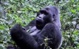 Ebola scientists seek cure with ape remedy