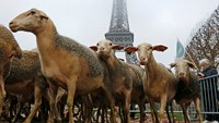 Farmers release sheep under Eiffel Tower in protest
