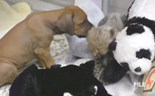 Cheetah and puppy play, cat steals $1,000 in seafood