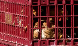Hong Kong launches chicken cull