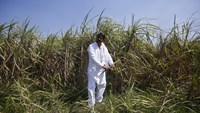 Indian farmer Rajvir Singh shows sugarcane crop damaged by unseasonal rains, in Sisola Khurd village in the northern Indian state of Uttar Pradesh, March 24, 2015. Picture taken March 24, 2015. REUTERS/Anindito Mukherjee