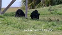 Do chimps have rights?